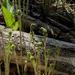 Early Ferns