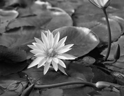 17th May 2021 - Water lily in mono