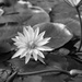 Water lily in mono