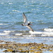 From the bottom....... #4 oystercatcher series