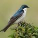 Tree Swallow by annepann
