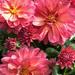 Dahlias in Bloom  by cashep19