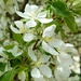 Flowering  Hawthorne Tree