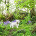 George and the bluebells