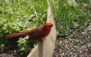 17th May 2021 - Cardinal