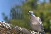 17th May 2021 - Wood pigeon