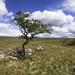 Scrawny hawthorn