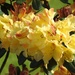 Rhododendron in the Garden 3