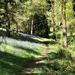 Bluebells in Park Wood, Hergest Croft Gardens