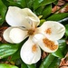 Magnolia blossom.  Has one of the sweetest fragrances in Nature!  by congaree