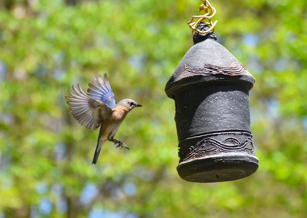 Eastern Bluebird by dianen