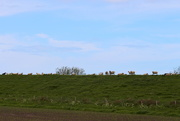 17th May 2021 - Sheeps on the dike.