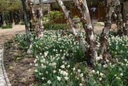 17th May 2021 - White Daffodils