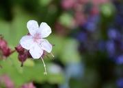 18th May 2021 - Geranium in the rain.