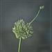 Alien Allium