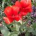 Tulips taken at Edwards Garden