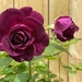 Purple Rose by cdonohoue