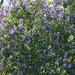 Flourishing Lilac Bush