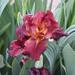 Unique Color Iris
