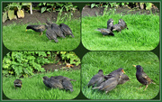 """19th May 2021 - Starling mum and """"little stars"""" !!"""