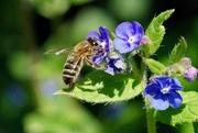 17th May 2021 - FEEDING BEE