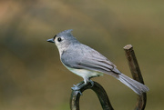 18th May 2021 - Tufted Titmouse