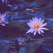 Lillies gone AWOL by brigette