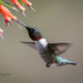 Male ruby-throated hummingbird  by dridsdale