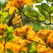 Yummy Orange Flame Azalea by kvphoto