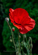 19th May 2021 - Red Poppy