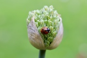 20th May 2021 - Allium & Friend