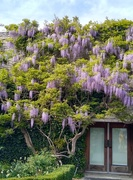 20th May 2021 - Wisteria covering an entrance way
