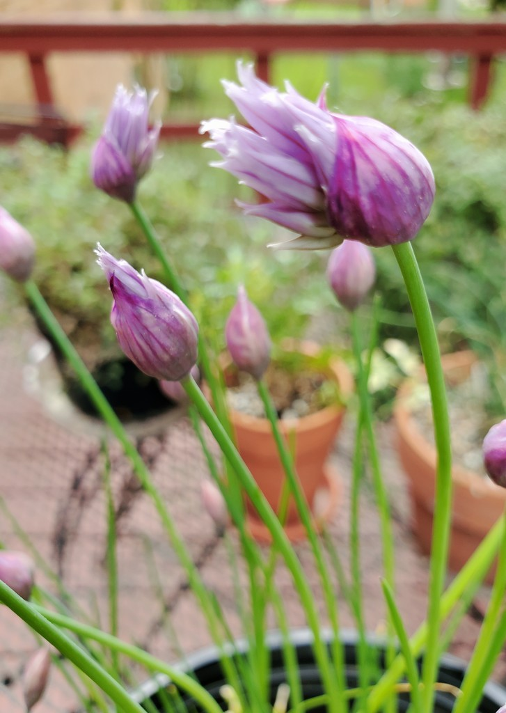 """Chives are """"chiving""""... by houser934"""