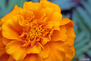 20th May 2021 - Up close and personal with Marigolds