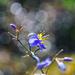 Blue and Gold by sherimiya