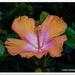 Tropical Hibiscus... by julzmaioro