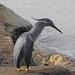 Young straits Heron
