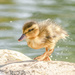 Duckling after a swim by shepherdmanswife