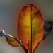 Large Golden Leaf by sprphotos