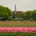 tulips and windmill by gijsje
