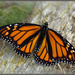Monarch by dide