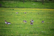21st May 2021 - Gooses between buttercups , daisies and grass