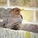 Blackbird sitting on garden wall