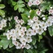Do not cut the Hawthorm Blossom by nodrognai