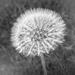 Dandelion by sprphotos