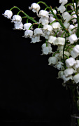 22nd May 2021 - lily of the valley