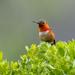 Allen's Hummingbird by nicoleweg