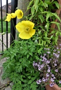 23rd May 2021 - Welsh poppies and the thyme in flower