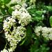 My white flowers project, sorb apple is flowering by marijbar