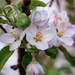 apple blossoms by aecasey